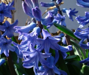 Hyacinth #1 – Version 2