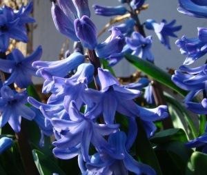 Hyacinth #1 – Version 2
