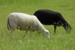 Sheep.1black1white
