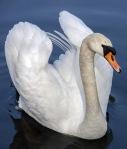swan-319379_960_720 (1)