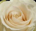 tl-single-cream-rose